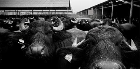 Os Búfalos no Brasil