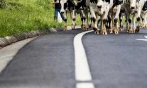 Qual é a vaca ideal?