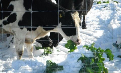 Nova Zelândia: Estação de vacas secas