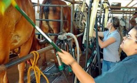 Vacas que recebem afago produzem mais leite e com melhor qualidade