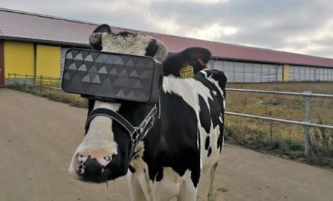 Rússia testa óculos de realidade virtual em vacas para aumentar produção de leite