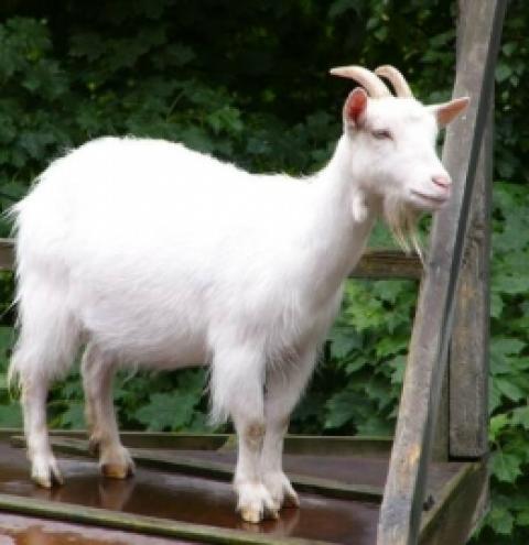 O leite de cabra na alimentação humana