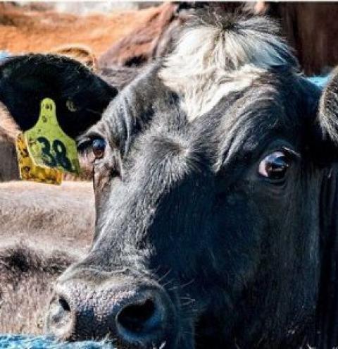 Brasil testa sistema neozelandês de leite com a raça gir